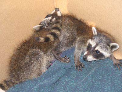 melanistic raccoon